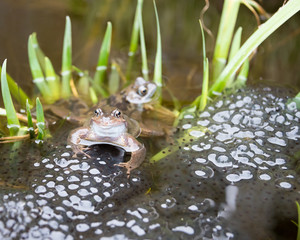 Two pairs of frogs laying Frogspawn.