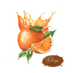 Hand-drawn watercolor vibrant illustration of the fresh juicy oranges. Dynamic splashes of the orange juice and ripe tropical fruits isolated on the white background. Food clipart.