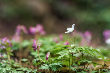 Anemone nemorosa or wood anemone, the first spring flower in the park. Poland.