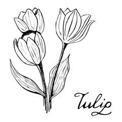 Tulip Botany Illustration