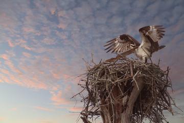 Osprey Landing on It's Nest as the Sun Sets