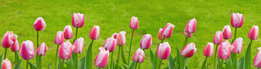 Pink - white tulips background.