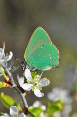Callophrys rubi, Green Hairstreak butterfly - Lycaenidae family. Green butterfly collecting nectar on wild white flowers.