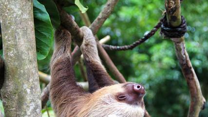 oso perezoso bebe colgando de arbol dormido feliz animales exoticos en extinsion