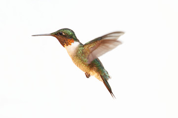 Fotoväggar - Isolated Ruby-throated Hummingbird
