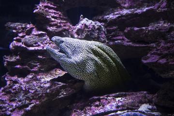 Moray Muraena fish (Gymnothorax favagineus) hiding in rocks