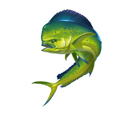 Mahi mahi or dolphin fish on white