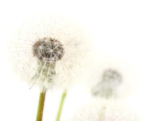 Dandelion seeds isolated.