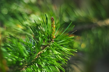 Green pine bud and needles. Closeup macro photo.