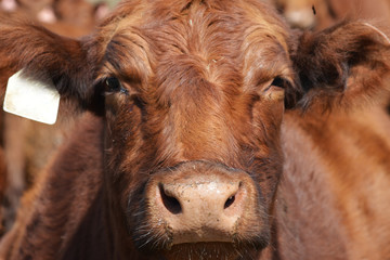 red galloway cow closeup