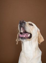 A beautiful clean golden labrador retriever posing in a studio against a cream and brown studio backdrop