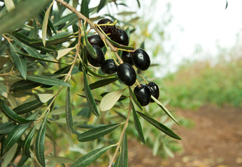 Olives on the tree,  Olive Fruit