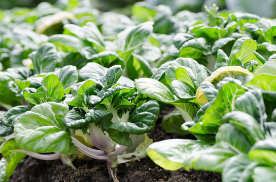Bok choy or Chinese cabbage in organic vegetables farm