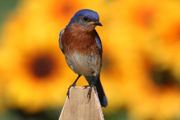 Fotoväggar - Male Eastern Bluebird