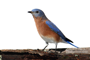 Fotoväggar - Isolated Bluebird On A Perch With A White Background