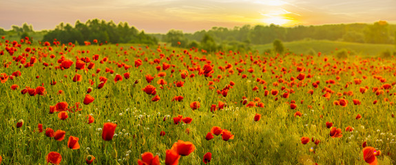Canvas Prints Poppy Red poppy field in the light of the rising sun
