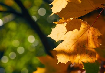 Faded autumn leaves of maple tree in direct sunlight in fall