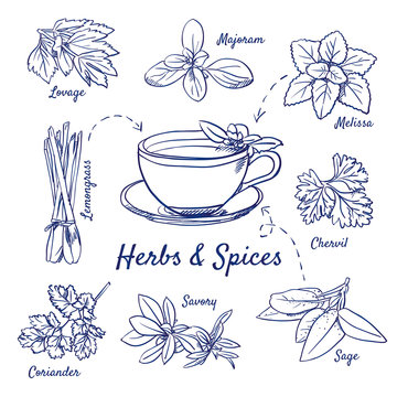 Doodle set of Herbs & Spices - Lovage, Marjoram, Melissa, Lemongrass, Chervil, Coriander, Savory, Sage, Tea cup, hand-drawn. Vector sketch illustration isolated over white background. Vintage