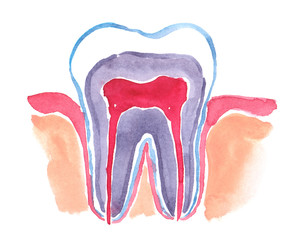 Scheme of healthy human tooth painted in watercolor on clean white background