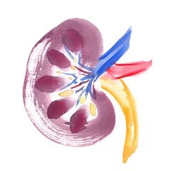 Scheme of healthy human kidney painted in watercolor on clean white background