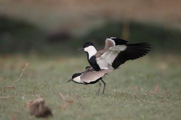 Spur-winged plover,  Vanellus spinosus