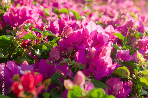 Flowering bushes with pink flowers stock photo and royalty free flowering bushes with pink flowers mightylinksfo