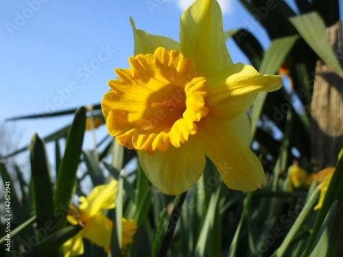 Narciso giallo in campo stock photo and royalty free for Narciso giallo