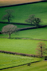 Wall Mural - Horses graze on a farmland in East Devon AONB (Area of Outstanding Natural Beauty)