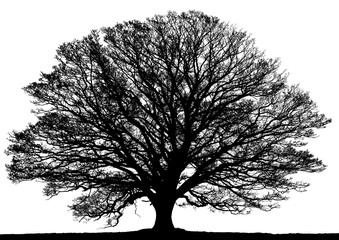 Silhouette of oak tree isolated on white background.