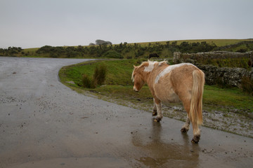 Dartmoor Pony walking along a wet road