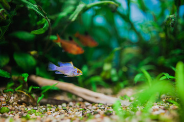 "Papiliochromis ramirezi ""Neon Blue""\""Electric blue"" called Butterfly fish in a nature aquarium in Amano style"