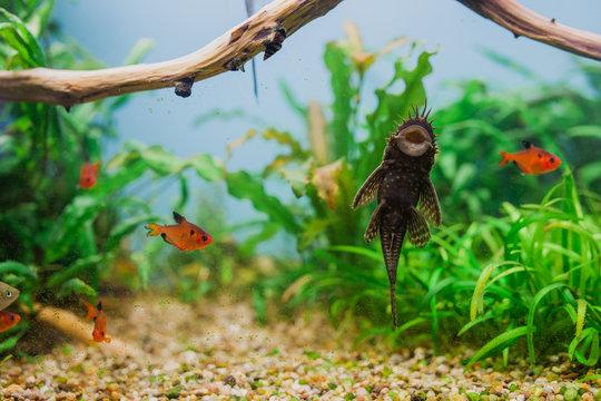 Aquarium Fish Bushymouth catfish (Ancistrus dolichopterus)