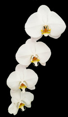 Four White Orchid isolated on Black Background