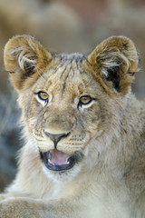 Lion (Panthera leo) cub. Northern Cape. South Africa.