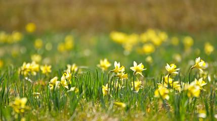 Gelbe Wildnarzissen in der Natur
