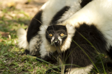 These Lemurs have no difficulty in getting used to their new home in Thailand.