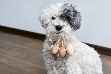 poodle dog holding Easter eggs in the mouth  .Easter time