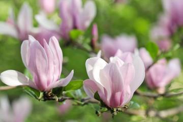 Pink magnolia flowers 1