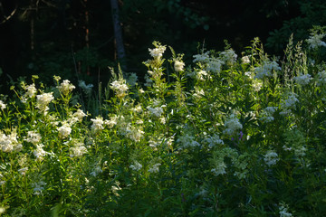 A flower of the Filipendula growing on a summer meadow.