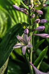 Flower hosta growing in the summer garden.