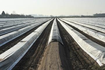 Frühkultur von Spargel durch Folienanbau in der Landwirtschaft