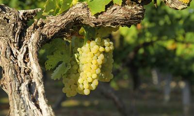Vignoble raisin blanc