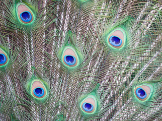 Indian Peacock Feathers