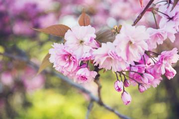 Obraz kwitnąca jabłoń - fototapety do salonu