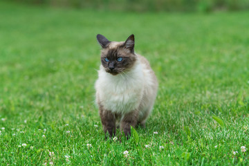 Siamese cat playing in the garden in a summer day