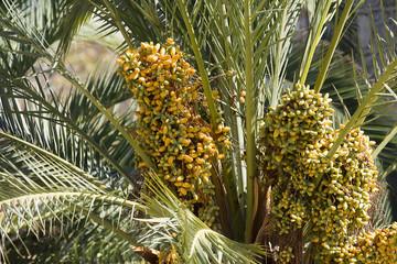 Dates palmtree