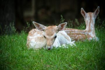 Newborn fawn hiding