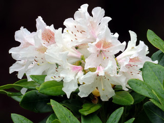 South Bethany white azalea 2016