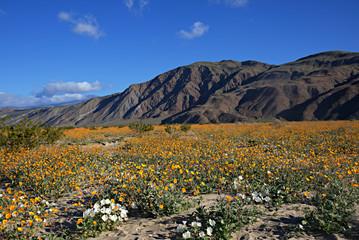 Anza-Borrego Wildflowers G
