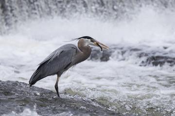 Grey great heron fishing bihaind a cascade